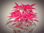 image of poinsettias  - Red Christmas star Poinsettia Euphorbia pulcherrima flower - JPG