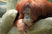 image of orangutan  - Photo of a large orangutan leaning over a rock - JPG