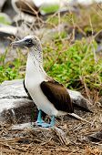 image of booby  - a galapagos island blue footed boobie bird - JPG