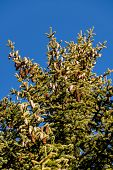 foto of modification  - pine cones and blue sky as a symbol of growth - JPG