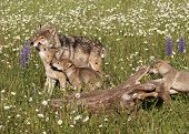 Постер, плакат: Wolf Pups in Wildflowers