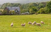 foto of farmhouse  - Typical Scottish Farmland with goats and farmhouse at the Isle of Mull in Scottish Highlands UK - JPG
