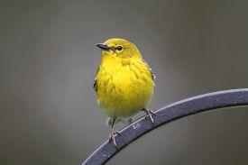 stock photo of pinus  - Male Pine Warbler  - JPG