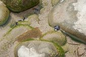 stock photo of tide  - Sea snail hold tight to the rock during low tide - JPG