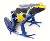 image of rainforest  - blue yellow poison frog on white Dendrobates tinctorius a poisonous animal from the Amazon rainforest in Suriname - JPG