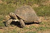 Leopard tortoise pic.