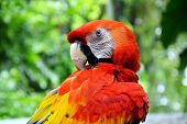 stock photo of peen  - a red macaw peening in the park - JPG