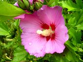 picture of hibiscus  - Close up of a Hibiscus flower with a fully developed pistil - JPG