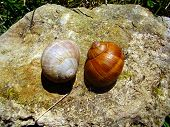 foto of snail-shell  - Close up of two different coloured Roman Snail shells - JPG