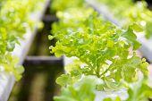 image of frilly  - Hydroponics vegetable farm - JPG