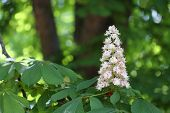 image of may-flower  - Chestnut flower in the park in sunny day in May  - JPG