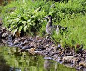 picture of vegetation  - A mother duck with ducklings hiding in the vegetation on the side of a lake - JPG