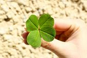 pic of four leaf clover  - Female hand with four leaves clover - JPG