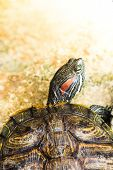 pic of terrapin turtle  - One Pond Red eared slider turtle in pond - JPG