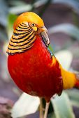foto of pheasant  - Magnificent male golden pheasant bird with beautiful feathers - JPG