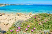 stock photo of shoreline  - pink flowers by Capo Testa shoreline - JPG