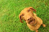 stock photo of hungarian  - Hungarian pointer in the nature at summer - JPG
