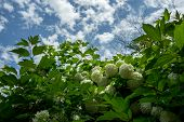 image of hydrangea  - Hydrangea macrophylla flowers in a small temple in Sunchang South Korea - JPG