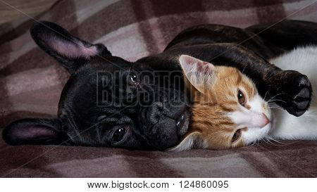 poster of White cat and black dog sleeping together under a knitted blanket. Friendship cats and dogs, animals in the apartment house. Cute pets. Love the different species of animals