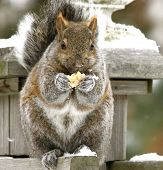 picture of buck teeth  - a canadian squirrel eating a cracker on the top of my swingset - JPG
