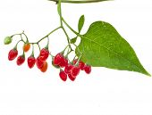 image of belladonna  - nightshade plant with red berries isolated over white  - JPG