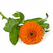 Orange flower isolated on a white background