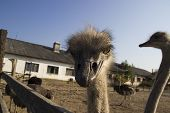 Ostrich Head Close Up In Ostrich Farm. Ostriches In The Paddock On The Farm. Very Interesting And In poster