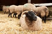 picture of suffolk sheep  - Sheep and lambs during lambing in a farm - JPG