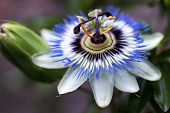 Passion Flower Or Passiflora Are More Than 500 Varieties Of Passion Flowers Are Known, Including Tre poster