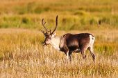 pic of caribou  - Caribou grazing on the Kenai river flats - JPG