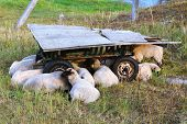 A Herd Of Sheep Resting Near The Old Collapsed Cart On The Farm. poster