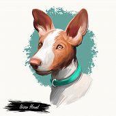 Ibizan Hound, Ibizan Warren Hound Dog Digital Art Illustration Isolated On White Background. Ibiza O poster