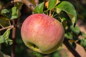 Green Apples On A Tree. Green Apples On A Branch Ready To Be Harvested, Outdoors, Selective Focus. F poster