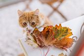 Close Up Photo Of Cute Domestic Ginger Cat Interested In Colorful Maple Leaves. Feline Looks Into Ca poster