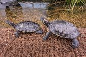 Pair Of Red-eared Aquatic Turtles On The Shore Of A Pond. A Beautiful Reptiles Bask In The Warm Rays poster
