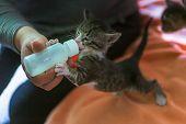 Little Gray Kitten Drinks Milk From A Bottle. Feeding Kittens Without A Nursing Cat. Kittens On Arti poster