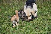 Domestic Dog And Cats Eat Together Pedigree poster