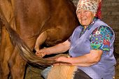 picture of milkmaid  - grandmother is milking a cow in dairy - JPG