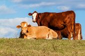 Lying Bull On Pasture Against Blue Sky. Cattle On The Farm. Pasture In The Czech Republic - Europe.  poster