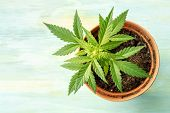 Growing Cannabis. A Female Marijuana Plant In A Pot, Top Shot With Copyspace poster