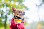 Chihuahua Dog On A Walk In The Park. A Small Dog. Bright Dog. Light Color. Home Pet. poster
