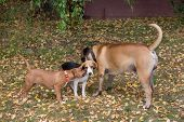 Beagle Puppy, American Staffordshire Terrier Puppy And Bullmastiff Puppy Are Playing In The Autumn P poster