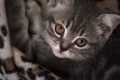 Scottish Straight. Gray Kitten Portrait. Pets. Fluffy Animal. Long Whiskers And A Tail. Serious Look poster