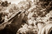Two Brown Wild Horses On Meadow Idyllic Field. Agricultural Mammals Animals In Natural Environment. poster
