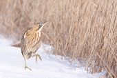 Bittern in snow