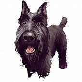 Standard Schnauzer Mittelschnauzer Purebred Domestic Animal From Germany Digital Art. German Doggy W poster