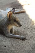 pic of baby spider  - kangaroo in the Zoo look relax os cute - JPG