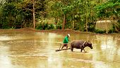 Farmer And A Carabao