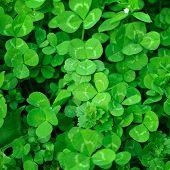 stock photo of shamrock  - Spring green clover (shamrock) leaves to St. Patrick Day ** Note: Slight blurriness, best at smaller sizes - JPG