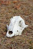 stock photo of cranium  - grunge dog cranium left in the field - JPG